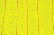 canvas print picture - Closeup of autumn yellow leaf with vein texture abstract background