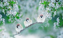 Three Chubby Little Funny Birds Sparrows Sitting On A Branch Of Cherry Blossoms With White Buds In The May Spring Garden