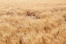 Dog Walking In Field Of Barley