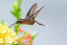 A Little Hermit Hummingbird Feding On The Flowers Of The Ixora Bush In A Tropical Garden.