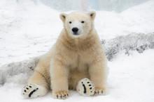 Funny Polar Bear. Polar Bear S...
