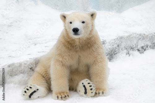 Fotomural Funny polar bear. Polar bear sitting in a funny pose. white bear
