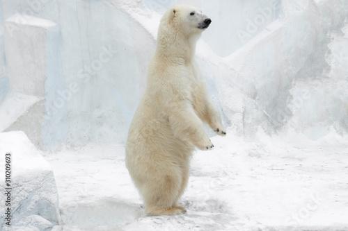 Funny white bear. Polar bear  in a funny pose. Fototapeta