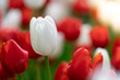 Tulip flower with green leaf background in tulip field,Soft selective focus