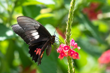 A Cattle Heart Butterfly Feeding On The Pink Vervain Flower With Lush Foliage In The Background.