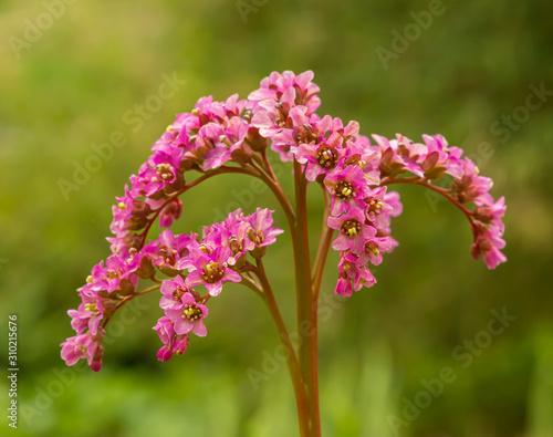 Photo pink heartleaf or leather bergenia or elephant's ears (bergenia crassifolia) flo
