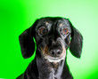 canvas print picture - Miniature Dachshund