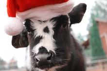 Calf Wearing Santa Hat