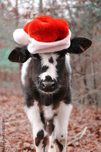 Christmas cow - 310223861