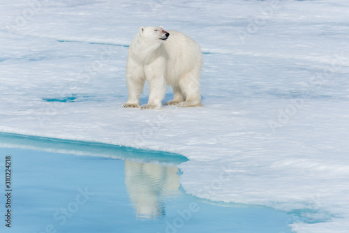 Fotografia Wild polar bear (Ursus maritimus) going on the pack ice north of Spitsbergen Isl