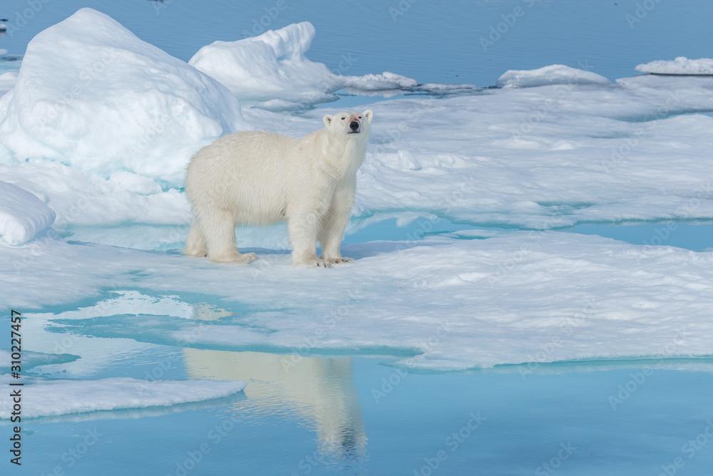 Wild polar bear (Ursus maritimus) going on the pack ice north of Spitsbergen Island, Svalbard