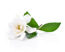 Gardenia Flower On White