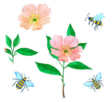 Watercolor Illustration With Flowers Of Dog Rose And Flying Bumblebees, Collection For Cards, Invitation Or Design