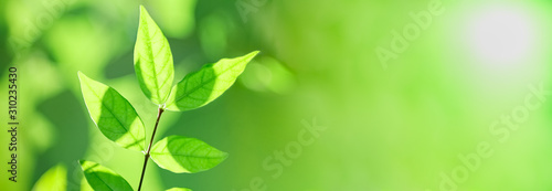 Obraz Close up of nature view green leaf on blurred greenery background under sunlight with bokeh and copy space using as background natural plants landscape, ecology cover concept. - fototapety do salonu