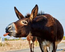 Feeding A Wild Donkey With A C...