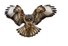 Front View Of Bird Of Prey Landing Isolated On White Background. Common Buzzard, Buteo Buteo, In Flight Cut Out On Blank. Powerful Wild Animal Moving In Nature.