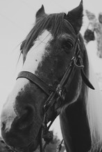 Black And White Close Up Of The Muzzle Of A Horse