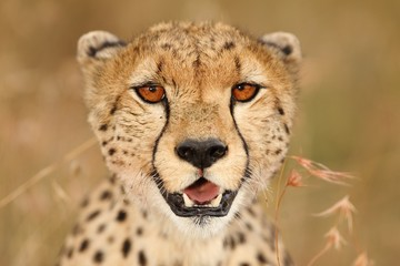 Selective focus shot of a beautiful African leopard on the grass covered fields