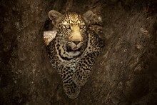 Magnificent African Leopard Ly...