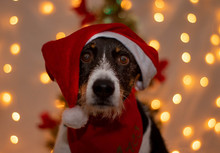 Dog With Santa Claus Hat For C...