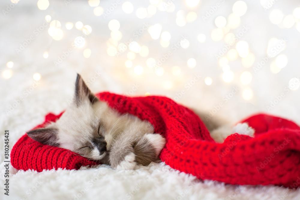 Kitten sleep in christmas hat