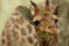 Closeup Shot Of A Baby Giraffe