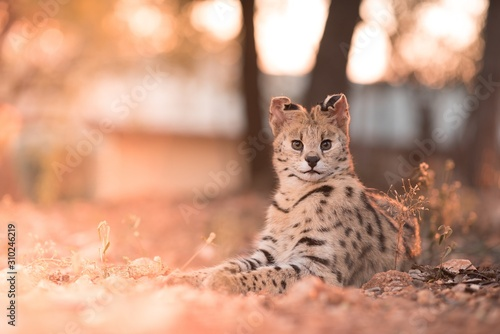 Closeup shot of a wild cat laying on the ground while looking at the camera with Wallpaper Mural
