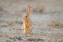 Cute Little Brown Rabbit In Th...