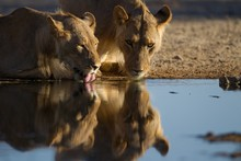 Reflection Of The Lionesses Dr...