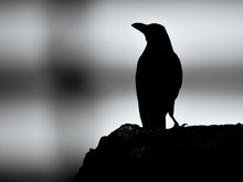 Greyscale Of A Crow Silhouette Standing On A Rock With A Blurry Background