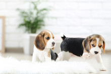 Beagle Puppy Dogs Standing On ...
