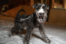 Miniature Schnauzer Dog On A Walk On A Leash In Winter, Walks In The Snow. At Night In The Park. Beautiful Portrait Of A Dog Standing In The Snow.