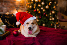 Corgi Dog In Santa Hat Lying On Bed At Home