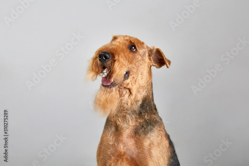 Photo Cute airedale terrier. Purebred dog. Studio shot. Gray background