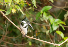 Green Kingfisher Perched On A Branch