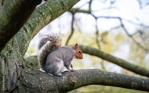 Cuadros en Lienzo squirrel on a tree