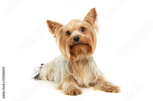 Fotografie, Obraz Studio shot of an adorable Yorkshire Terrier