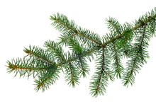 Christmas Plants. Fir Branch . Christmas Winter Botanical Decor . Coniferous Twig . Isolated On White Without Shadow