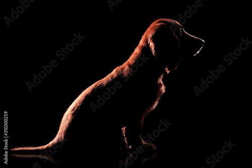 obraz dibond Silhouette of a sitting cocker spaniel puppy