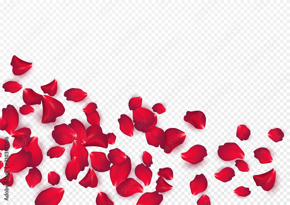 Fototapeta Backdrop of rose petals isolated on a transparent white background. Valentine day background. Vector illustration