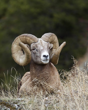 Rocky Mountain Bighorn Sheep -...