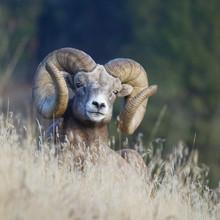 Rocky Mountain Bighorn Sheep -...