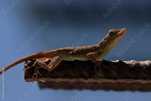 Puerto Rican brown Anolis Cristatellus lizard on a rod bar Canvas Print