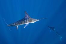Striped Marlin Mexico Baja California マカジキ バハカリフォルニア半島