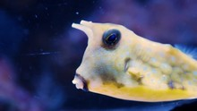 Longhorn Cowfish (Lactoria Cor...