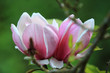 Magnolia flower on nature background in garden,Close up Magnolia flower with branch and leaf on blurry background