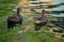 Ducks Swim Away