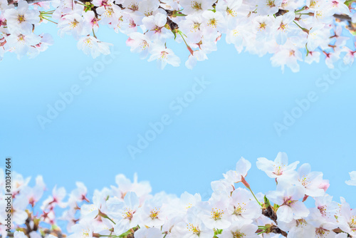 桜の花 Wallpaper Mural