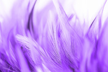 Beautiful Purple Chicken Feath...