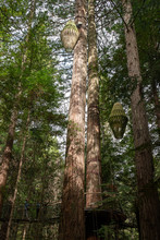Standing At The Bottom Of A Giant Redwood Tree In The Lush Dense Whakarewarewa Redwood Forest In Rotorua